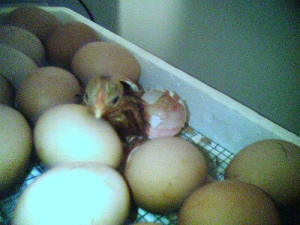 newly_hatched_chick2